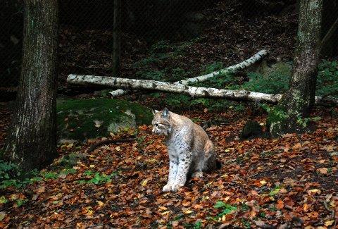 Den store skogskatten er en av de truede dyreartene man kan oppleve i Nordens Ark.