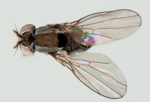 Vannfluen Nostima picta er vidt utbredt i Europa, men ikke i Norge.