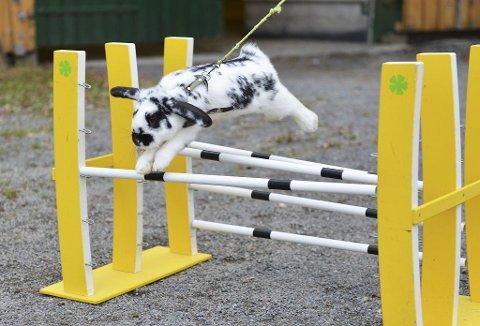 OVER: Kaninen «Habibi» i fullt firsprang over hinderet.