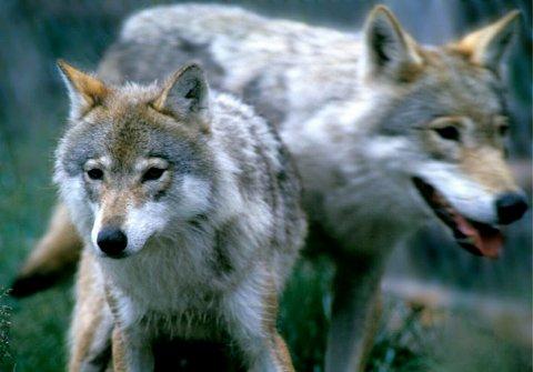 Lørdag ettermiddag ble det igangsatt ulvejakt i Løten og Elverum.