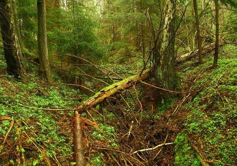 Stridens kjerne. Forvaltningen av skogen sør i Råde kommune bidro til en opphetet debatt. Flertallet gikk for vern. foto: privat