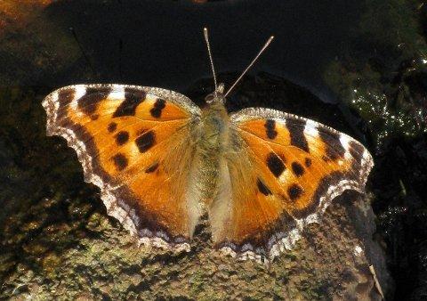 Nymphalis xanthomelas Norges sommerfuglart nummer 100. Eksperter mener bildet er helt unikt.