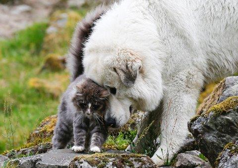 Suldal 170812På gården Ersdal i Suldal har Gina Tveit og mannen tatt i bruk pyreneerhund for å passe saueflokken.Hittil har de ikke mistet noen sauer siden Igor, Lava og Dixi kom til gården.Lava og katten Alfie er gode venner.