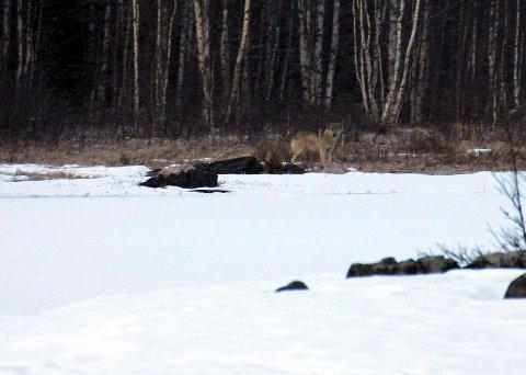 Det kan ikke være noen tvil. Dyret på bildet må være en ulv. Foto: Brede Brukstuen.