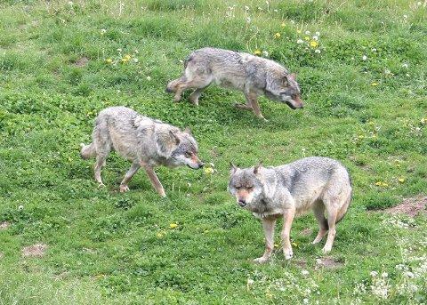 Det pågår i øyeblikket bjørnejakt og utvidet ulvejakt i Hedmark.