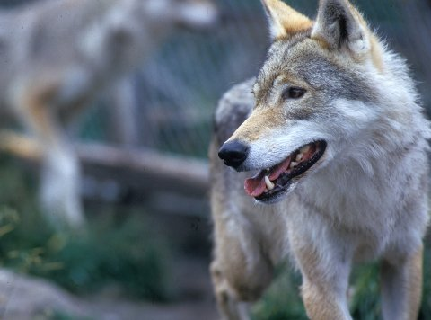 Fylkesmannen har gitt fellingstillatelse på én ulv.