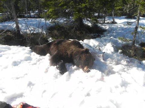 Denne hannbjørnen ble skutt i Åmot i april. Den hadde blitt registrert flere steder i Hedmark tidligere.
