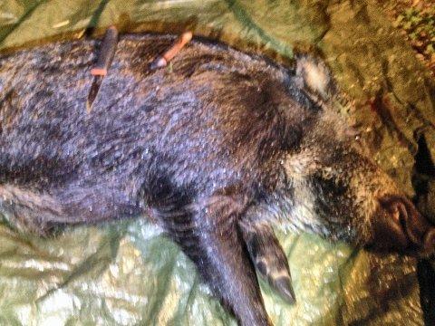 SVINAKTIG SPREK: På veg inn og ut av grisehenget til Sæteråsen, hoppet villsvinet over en skigard.