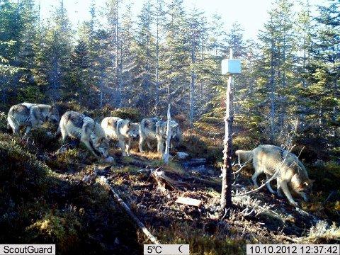 FLOKKET SEG: Seks ulver ble fanget opp av Jan Lindstads viltkamera i Trysil. Han mener ulvebestanden er ute av kontroll.