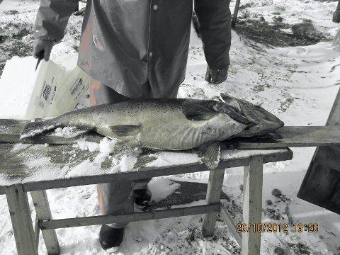 MEGAØRRET: 10,4 kilo veier ørreten som Olav Riseth fra Engerdal fikk da han fisket med nett i Femund i helga.