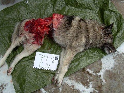 Denne hunden hadde ingen da den ble angrepet av ulv.