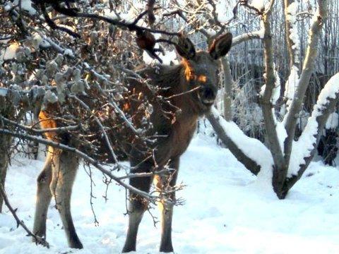 Snart kommer skogens konge til en hage nær deg. Frukttrær, selje og rogn er snadder for sulten vinterelg.