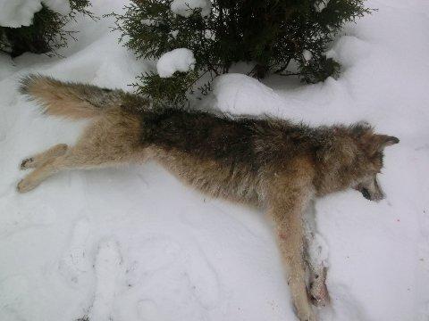 SKUTT: Denne ulven ble skutt i Nord-Odal mandag 27. januar. Dyret er en hanne og veide 33,4 kg.