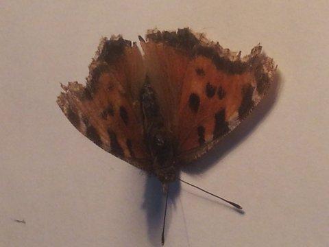 Dette er den første eksemplaret av Nymphalis xanthomelas som er observert i Norge.