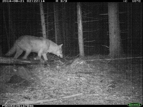 Dette dyret ble fanget opp av et viltkamera i Bærøeskogen 6. november. Norsk institutt for naturforskning har registrert dyret som ulv på sin nettside.