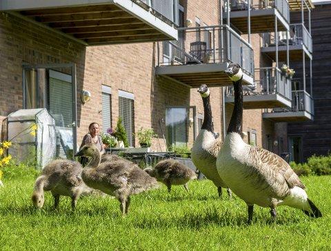 Hele familien: Dette bildet av familien med kanadagjess ble tatt utenfor leiligheten til Gunn Jensen på Langhus bo- og servicesenter i juni. Da en av ungene ble skadd og forlatt var hjelpen nære. Foto: kari kløvstad