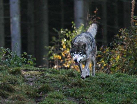 Under matingen kommer ulvene løpende, til stor begeistring for alle som ser på.