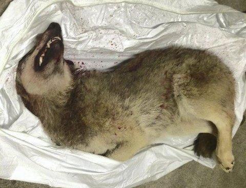 Skutt: Denne 49 kilo tunge hannulven ble skutt i Åmot natt til 14. mars. Politiet sier at flere kan bli siktet for å ha hjulpet til i forsøkene med å fjerne ulven.foto:politiet