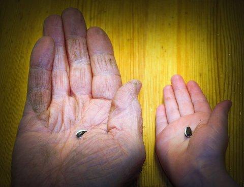 Høye som hus?: Det er neimen ikke godt å si hvilket av disse to frøa som vil den høyeste solsikka, det i den digre hånda til PlantAndor (79)eller det i den ganske mye mindre hånda til Iben (5 1/2). Til venstre er det bilde av blide og fornøyde solsikker ute i sola. Under solsikkene er det bilde av ei ertespire. Foto: Hilde Berit Evensen