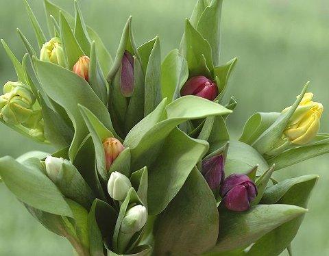 Tulipaner har hatt stor politisk og økonomisk, og til og med forårsaket børskrakk. Nå er de viktigst som øyensfryd og mental medisin.