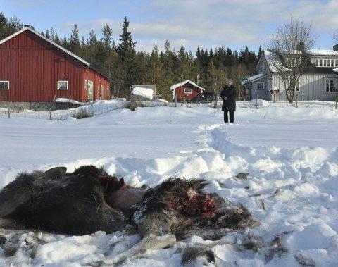 TATT AV ULV: Elgen er tatt av ulv rett utenfor huset til Elsa Lilly Skavern på Furutangen i Åmot.