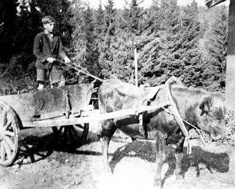 Alfs sønn Arne Haakensen bodde på gården til i fjor, som den siste i familien. Her kjører han møkkakjerra med oksen som trekkraft. Bildet er tatt i 1942, fotograf er ikke kjent. Siste gang han dro fra Granerud var i luftambulansen. (Bildet er utlånt av Ski bibliotek)