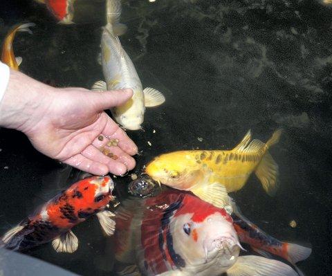 SPISER AV HÅNDEN: Fisken til Øyvind Skjellerud er husvarme. Koi og gullfisk kommer for å spise av hånden hans. FOTO: KARI KLØVSTAD