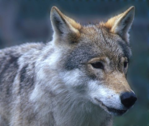 Norges Miljøvernforbund har anmeldt jegeren som påskjøt en ulv i Stor-Elvdal søndag.