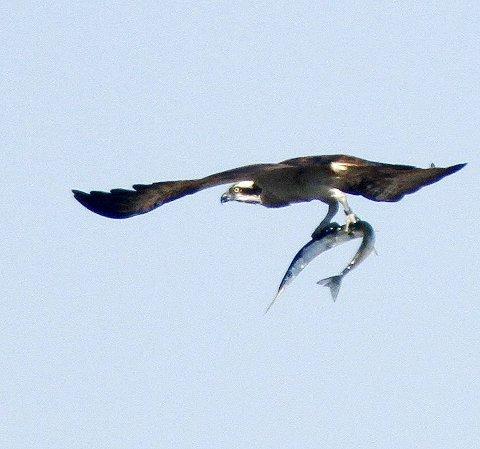 Fiskeørnen har kommet seg godt opp i lufta, og vi ser at det er en diger horngjel den har fanget. Den mørke stripa fra øyet og bakover er et av fiskeørnens kjennetegn.