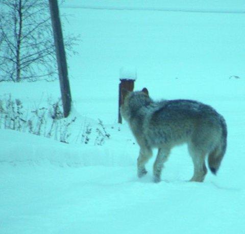ULVEBESØK: Denne ulven var på besøk hos Jan Egil Myrvang i Vestby 5. januar og ble avbildet 40 meter fra husveggen.