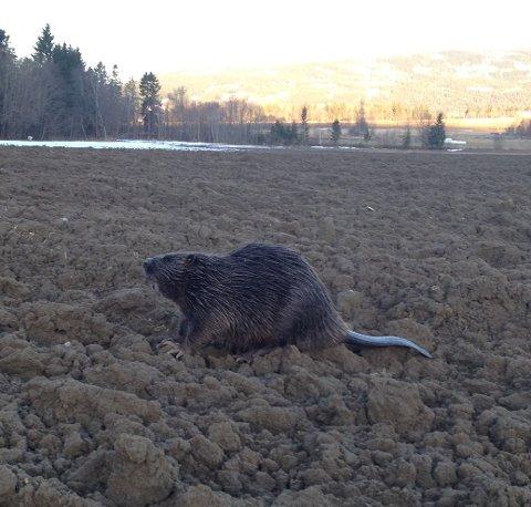 «Jostein Bever» ble sett på et jorde i Sylling onsdag morgen, langt unna Lierelva der han antas å holde til. Nå spekuleres det om «Jostein» er på jakt etter ny kjærlighet på uante stier.