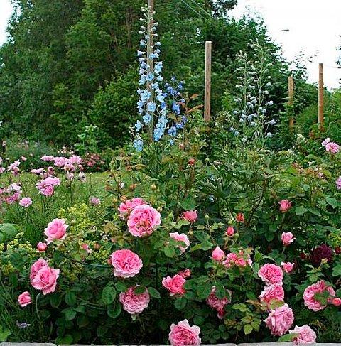 ROSER: I hagen i Vollen er det roser som gjelder. FOTO: PRIVAT