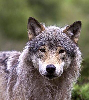 Nå skal det forsøkes å felle ulv i Tolga.