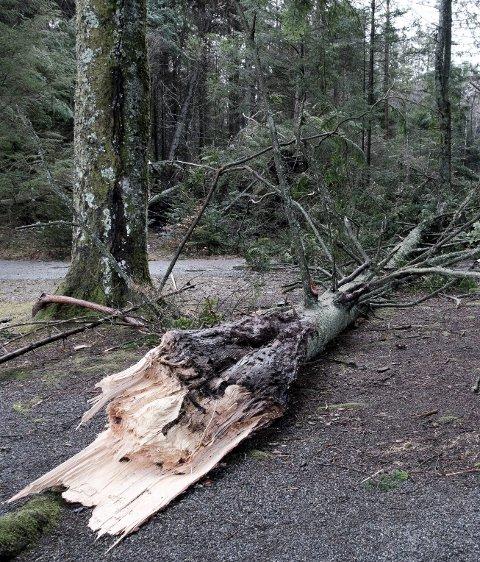 Rett av: Ett av de mange trærne som ligger over stiene i Haraldsvang.