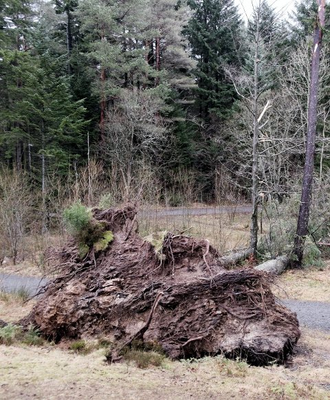 Dobbeltvelt:  To trær i ett velt i Vangen