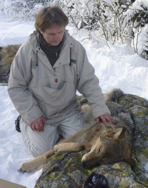 MERKET: Østlendingen har fulgt ulvene tett siden de ble merket lørdag 2. februar.