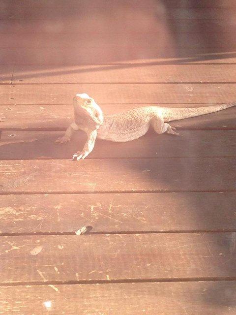 Dette er iguanen som ble funnet på Konnerud, og som nå kanskje blir avlivet. Mannen som fant iguanen ønsker ikke å stå fram med navn. Eier oppfordres nå til å ta kontakt med Mattilsynet.