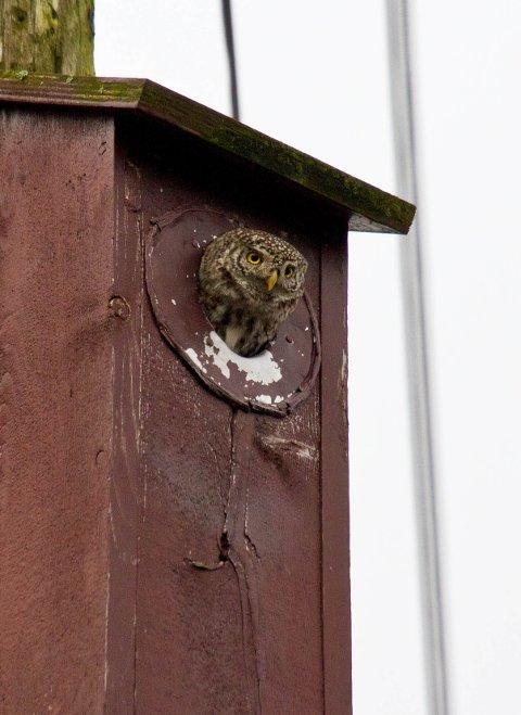 Denne spurveugla har tatt bolig i en fuglekasse på Skarstad i Haugesund.