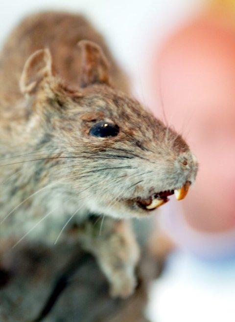 Rotter (bildet) og mus jakter på mat og husly når temperaturen synker om høsten. Innendørs kan gnagerne gjøre stor materiell skade.
