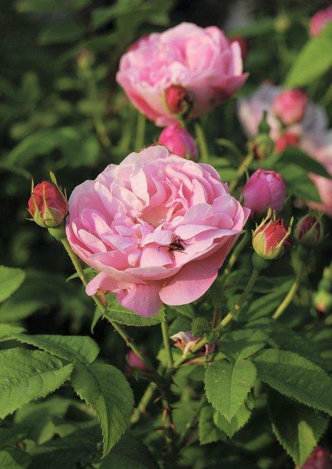 Dette er en rosa alba «Belle Amour» fra hagen til Hanne. Hun har selv tatt bildet.