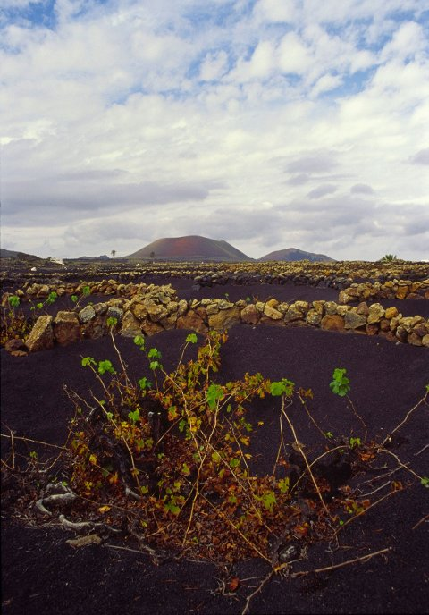 I området La Geria på Lanzarote dyrkes Malvasia-druer direkte i vulkansk aske.