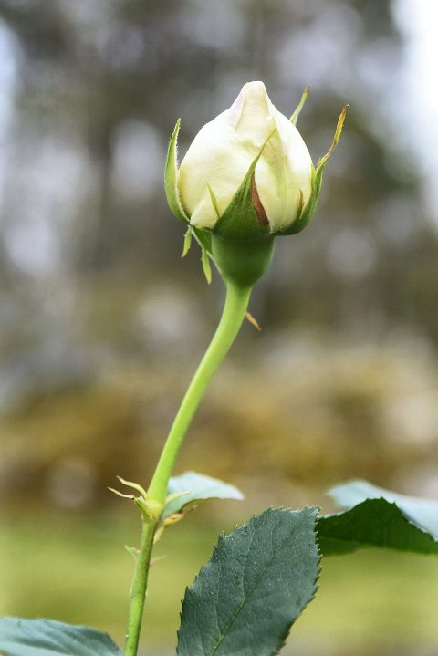 Denne frodige knoppen skal bli en «Eden rose 85». Foto: Kari Kløvstad