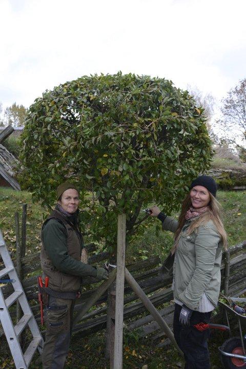 Susanna Sollerman og Emte Berge fletter kirsebærtrærne til runde baller.