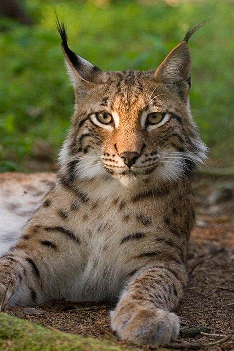 Som andre kattedyr, er gaupa mest aktiv på natta. Da jakter den gjerne på rådyr. Men farlig for mennesker, er den ikke.