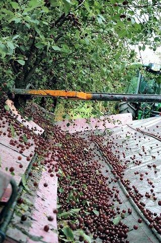 HØSTING. En spesiell maskin høster kirsebærtrærne i løpet av sekunder. FOTO: GURI HARAM