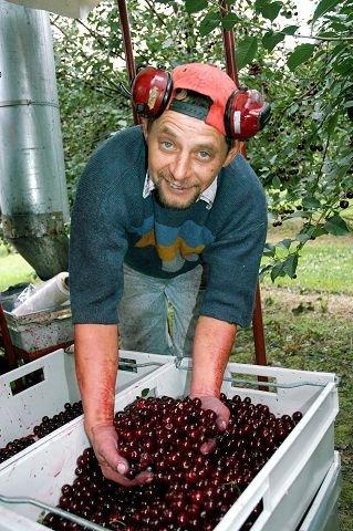 RØDE BÆR. Waldemar Kwiecien er med på innhøstingen av de røde bærene. FOTO: GURI HARAM