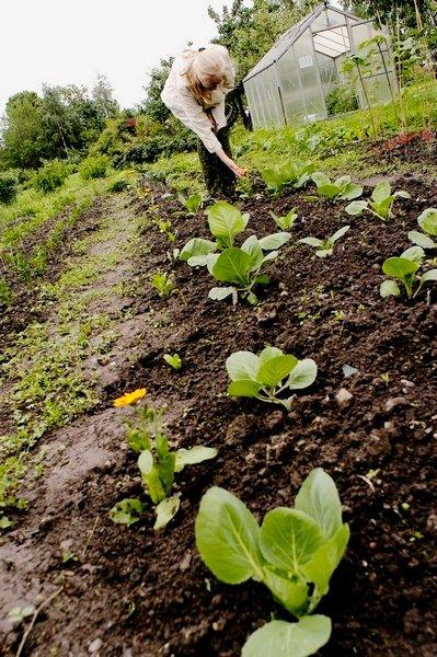 KOLLEGER: Kål plantes sammen med fløyelsblomst, som skal hindre skadedyr i å komme.