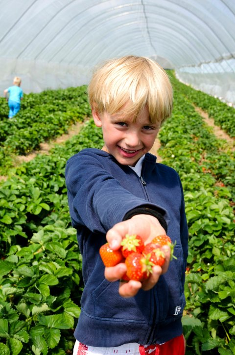 Iver Sletten Fiske (7 1/2) plukket sine egne bær i åkeren til Jordbærkongen.